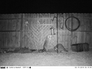 Raccoons at the bird feeder--click photo for video.
