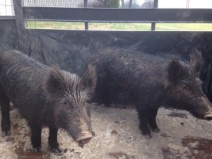 Feral Hogs--caught & loaded 2015